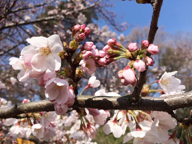 5 Days Tokyo Spring Tour