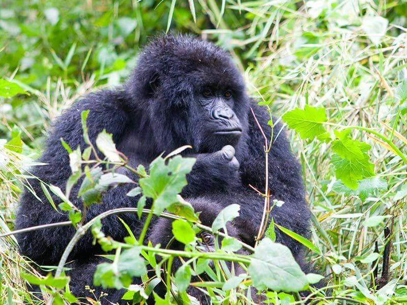 7-Day Gorilla, Monkeys Trekking & Bisoke Volcano Hiking