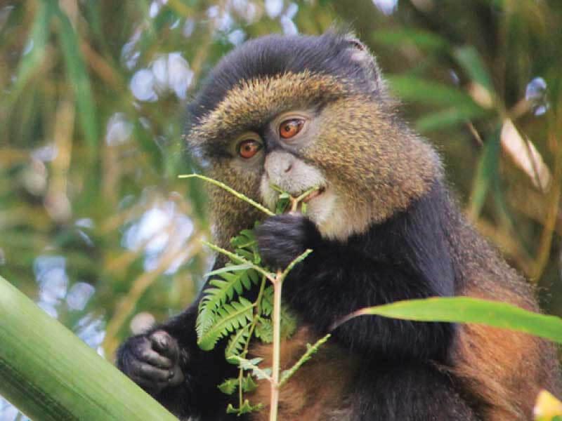 Golden Monkeys Trekking Community Based Activities