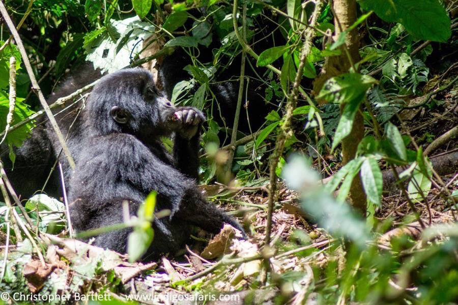 Gorilla tracking in Bwindi NP