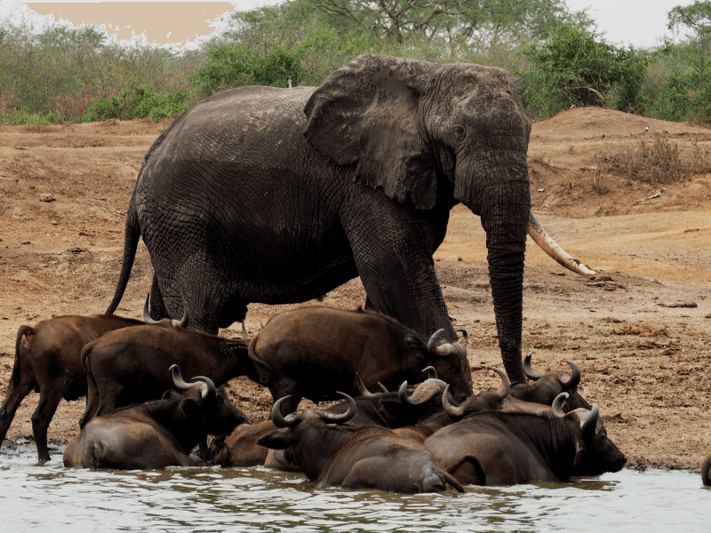 14-days Uganda & Kenya  Primates and Safari